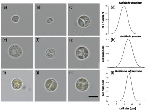 Galdieria_CellShape&Size