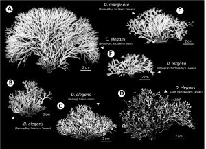 The Dichotomaria complex