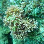 Tricleocarpa.sp.nov201403蘭嶼開元港 (2)